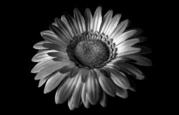Flower in black and white | 2009 | A Coruña, Spain
