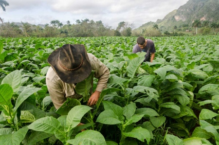 cuban tobacco picture by louis alarcon