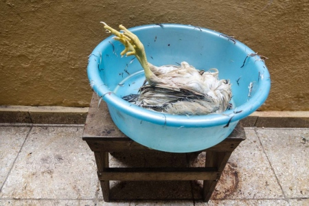 dead chicken in a ceremony of santeria in cuba, by louis Alarcon