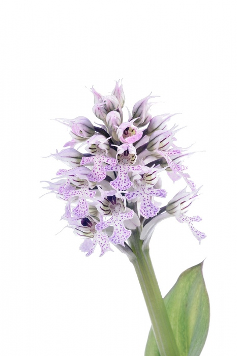 <i>Orchis conica. </i>
