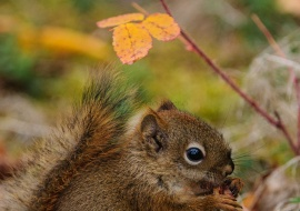 Red Squirrel (Tamiasciurus hudsonicus) from Yukon
