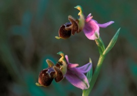 Woodcock orchid (Ophrys scolapax)