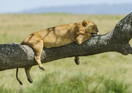 The rest of the lioness (Panthera leo)