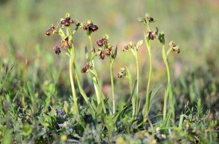 Ophrys bombyliflora x speculum