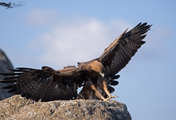 Águila Real (Aquila Chrysaetos)